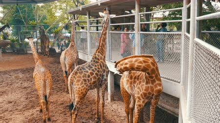 přežvýkavec : PATTAYA, THAILAND - DECEMBER 30, 2017: Giraffe goes to people and eats from their hands. Crocodile farm. Dostupné videozáznamy