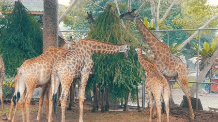 přežvýkavec : Giraffes in zoo eat in aviary