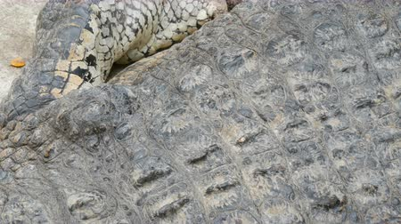 cativeiro : Crocodile close-up. The skin and the body portion close up view Vídeos