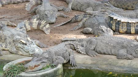 alligator head : Large number of large crocodiles rest on the shore of the lake