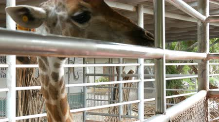přežvýkavec : Giraffes in zoo walk around the aviary Dostupné videozáznamy