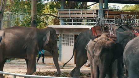 elefant : PATTAYA, THAILAND - DECEMBER 30, 2017: Many different indian elephants walk around valery on crocodile farm in Pattaya Stock Footage