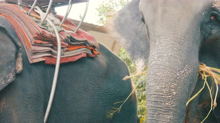 elefant : Indian elephant in Thailand, close up view Stock Footage