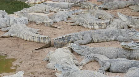 anfíbio : Crocodiles lazily lie in the captivity. Crocodile farm in Pattaya, Thailand
