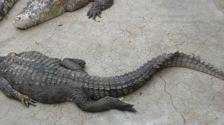 keeper : Large crocodile lies on the ground. Crocodile farm Stock Footage