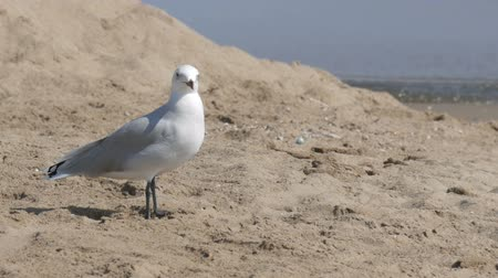 birding tours : Seagull walking on sand by the sea shore with waves
