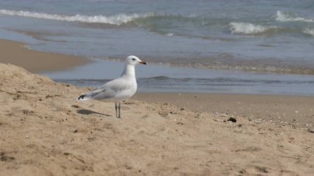Орегон : Big beautiful white seagull walks on the shore of the clear blue sea on the sand Стоковые видеозаписи