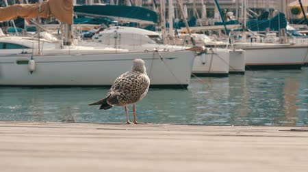 fly fishing : Huge seagull on the shore of the wharf walks along the wooden floor Stock Footage