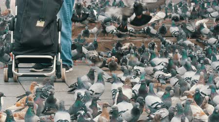 holubice : Large flock of pigeons in the park
