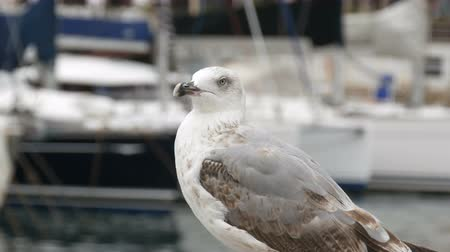 pióro : Close-up shooting of Bay and moorage along which a large white seagull is walking. Beautiful big white seagull on a background of the sea and sailing