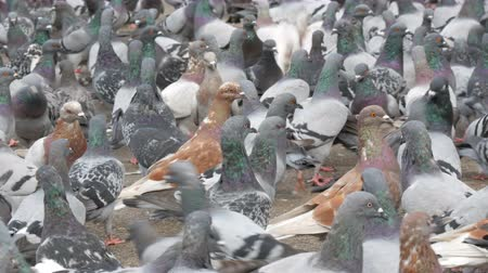 dull : Thousands of diverse city pigeons on streets of Barcelona