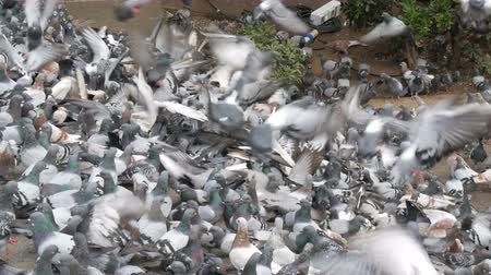 winter day : Thousands of diverse city pigeons on streets of Barcelona