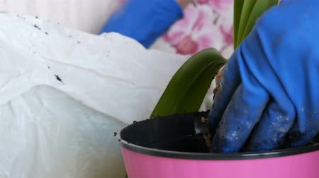 floriculture : The woman transplants the indoor lily flowers into new multi-colored flower pots Stock Footage