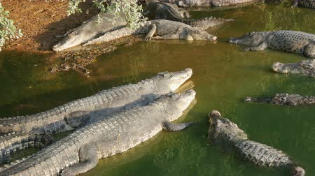kétéltű : Crocodiles lazily lie on the shore of green lake. Crocodile farm in Pattaya, Thailand Stock mozgókép