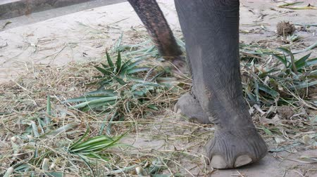 bushland : Chained to the ground with chain elephant eating grass with a trunk