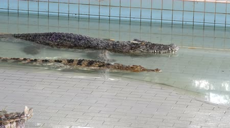 wrestler : Large adult crocodiles on crocodile farm. Crocodiles lie in a pool before the performance. Stock Footage