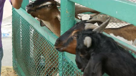 twaróg : Funny goats eat grass directly from hands Wideo