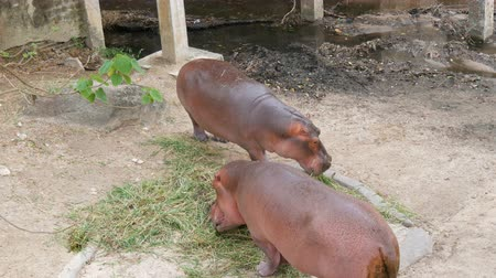 agressivo : Hippos eat grass in zoo