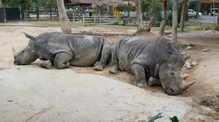 celkový : Rhino lies on the ground in zoo khao kheo Thailand