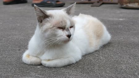 kaloryfer : Unusual color white cat sleeps on street close up view Wideo