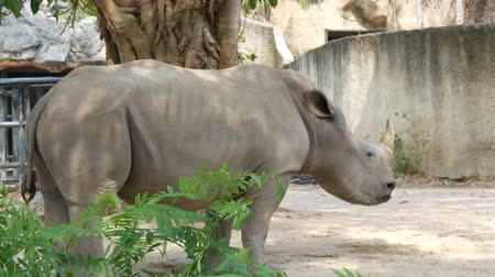 white rhino : Rhinoceros stands and chews grass in the zoo Stock Footage