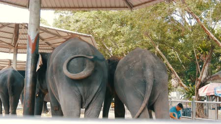 elefant : Chained to the ground Indian elephants with seats for tourists on back Stock Footage