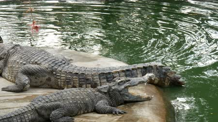 crocodilo : Tourists try to feed the crocodile with meat on rope. The fed crocodile does not want to eat in captivity. Vídeos