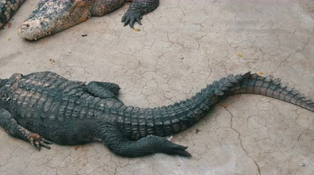 ısırma : Crocodile farm in Pattaya, Thailand. Crocodiles rest
