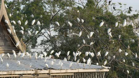 морских птиц : Many white gulls sit on the roof of a building in Japanese style. Seagulls sit on wires, house roof, trees