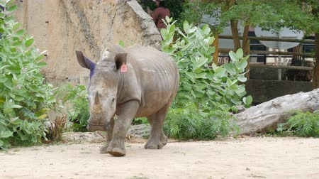 носорог : Si Racha, Thailand - January 11, 2018: Rhinoceros walks around the world famous zoo khao kheo Стоковые видеозаписи