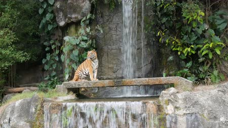 captive : Beautiful majestic tiger on the background of picturesque waterfall