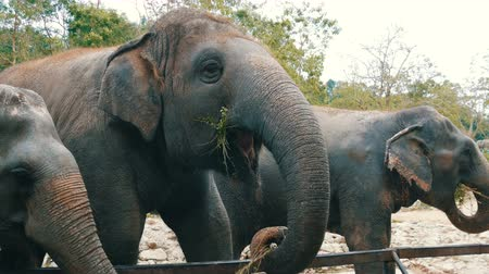probóscide : Indian elephants eat grass behind a fence at zoo