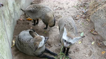 hides : Family of cave eared foxes in the enclosure of zoo khao kheo Stock Footage