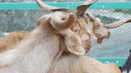 local : Herd of goats on goat farm