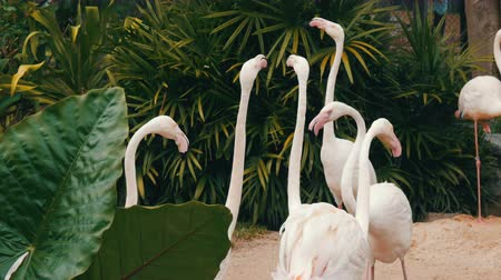 flamingi : White flamingos walks on a pond in zoo