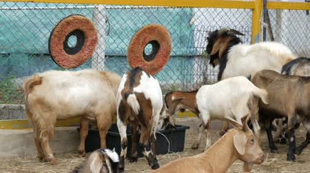 doorway : Herd of goats on goat farm