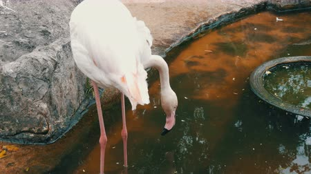 çiftleşme : White flamingos walks on a pond in zoo