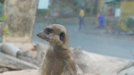 rozhledna : Funny meerkat or suricate near burrows in the zoo