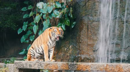 полосатый : Beautiful majestic tiger on the background of picturesque waterfall