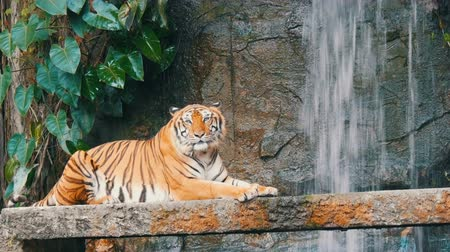 divoký : Beautiful majestic tiger on the background of picturesque waterfall