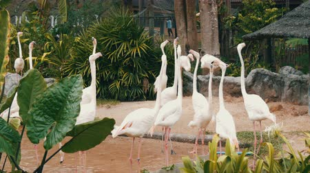 greater : White flamingos walks on a pond in zoo
