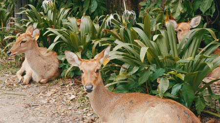 олененок : Beautiful deer sit in green bushes. Hand deer in zoo khao kheo, Pattaya, Thailand