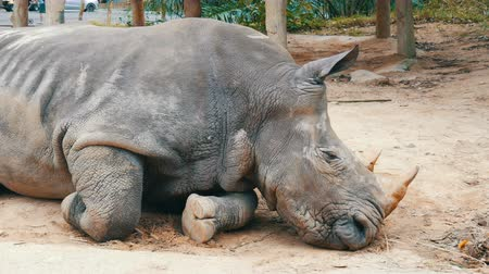 rhinocerotidae : Rhino lies on the ground in zoo khao kheo Thailand