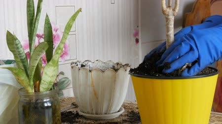agrarian : A woman in the spring transplants indoor flowers from old flower pots to new Stock Footage