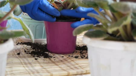 floriculture : The woman transplants the indoor flowers of violets into new flower pots Stock Footage