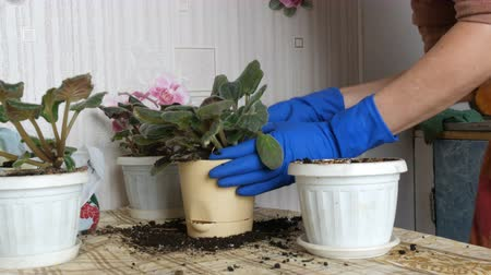 petrklíč : Female hands in blue gloves transplant the home flowers of violets into new beautiful beige pot