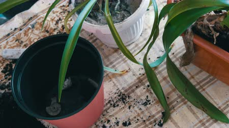 houseplant : The woman transplants the indoor lily flowers into new multi-colored flower pots Stock Footage