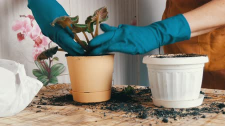 horticulture : A woman in the spring transplants indoor flowers from old flower pots to new Stock Footage