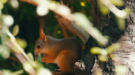 drápy : Cub of a small red squirrel hides in branches and eats a nut
