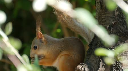 wiewiórka : Cub of a small red squirrel hides in branches and eats a nut